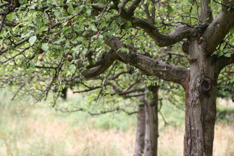 Apfelbaum stockbild