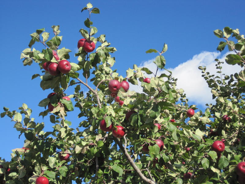 Apfelbaum lizenzfreies stockfoto