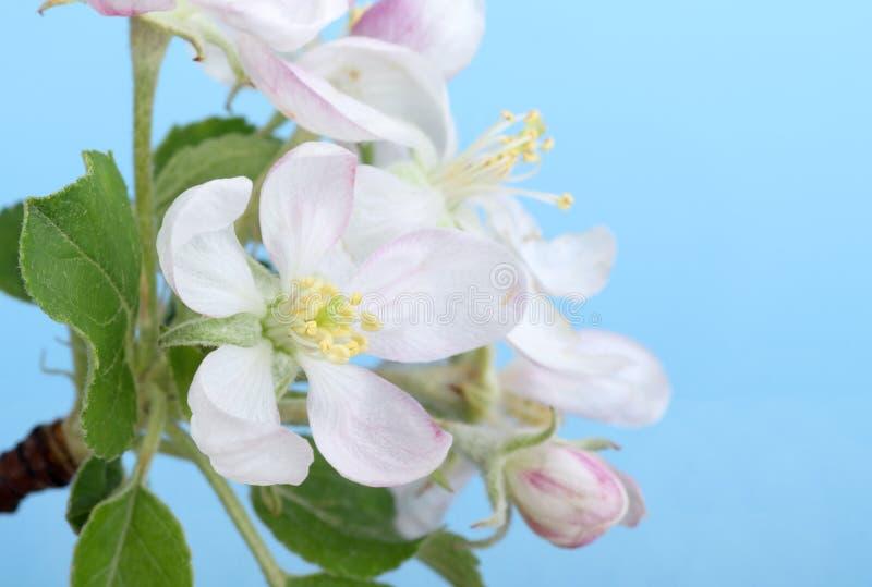 Apfelbaum-Blüte lizenzfreies stockfoto