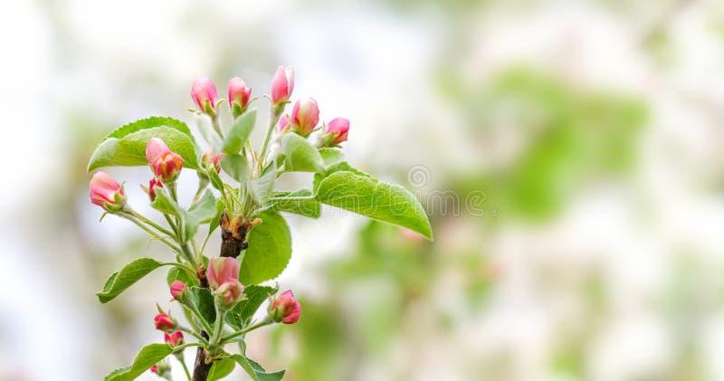 Apfelbaum-Blumenblütenmakroansicht Blühender rosa Blumenblattfruchtbaumast, bieten unscharfen bokeh Hintergrund an flach stockfoto