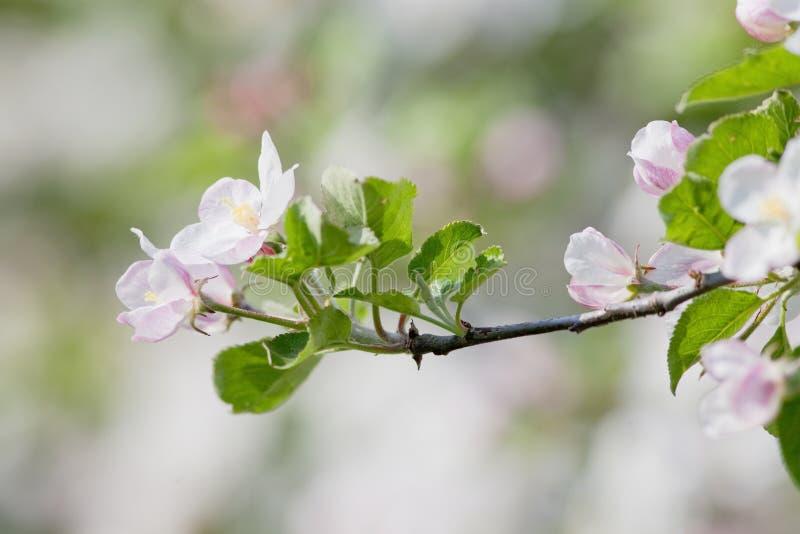 Apfelbaum in der Blüte stockfotografie