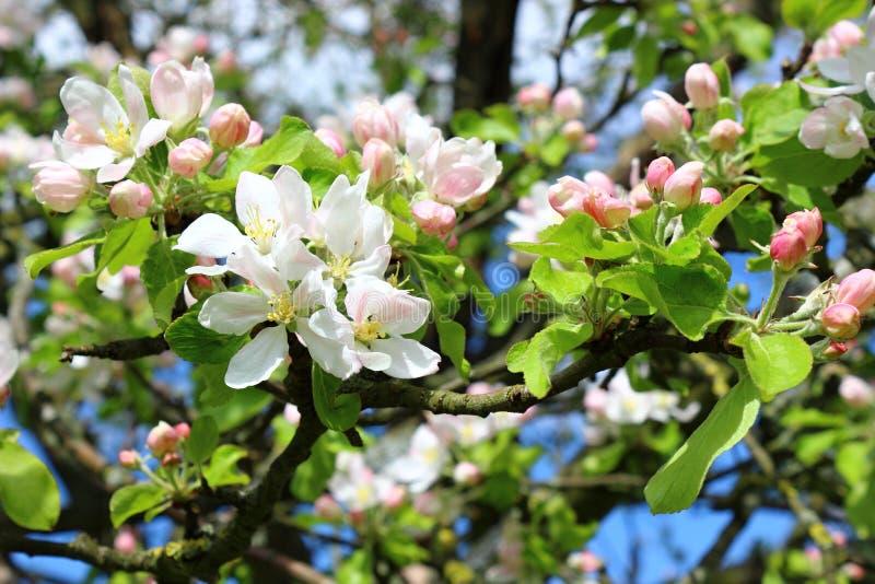 Apfelbaum in der Blüte lizenzfreies stockbild