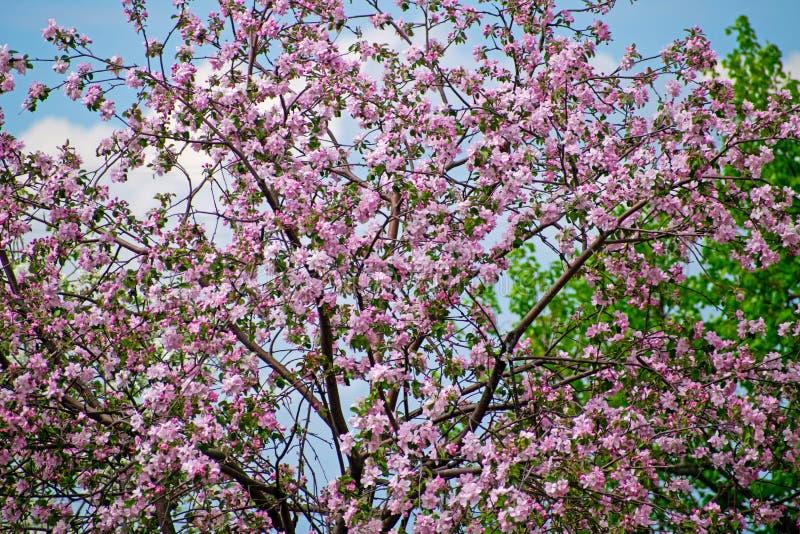 Apfelbaum in der Blüte E stockbild