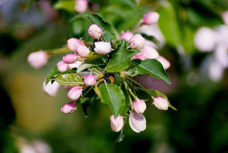 Apfelbaum in der Blüte - Frühlings-Saison lizenzfreies stockbild