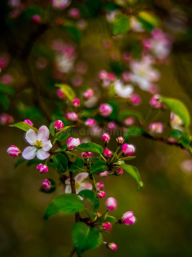 Apfelbaum in der Blüte lizenzfreie stockfotos