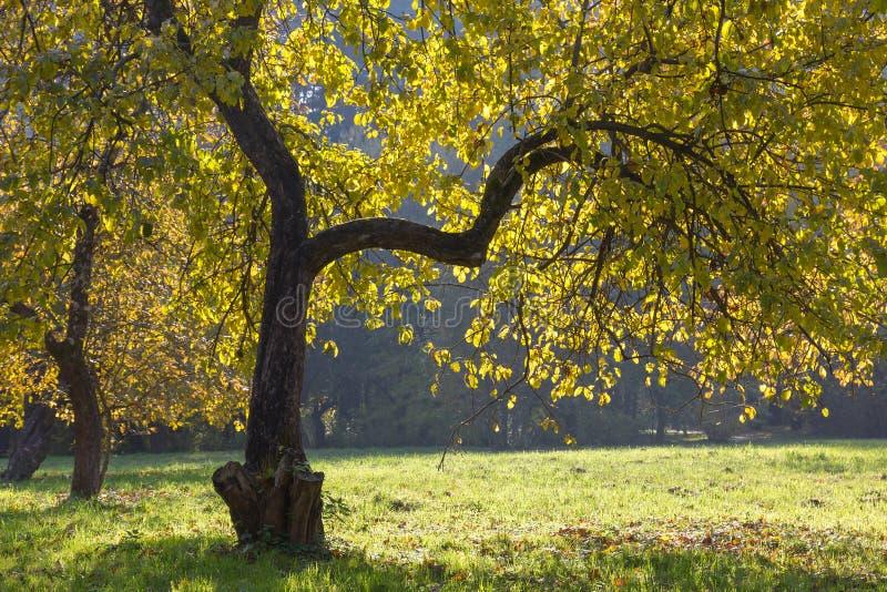 Apfelbaum im Herbst. stockfotografie