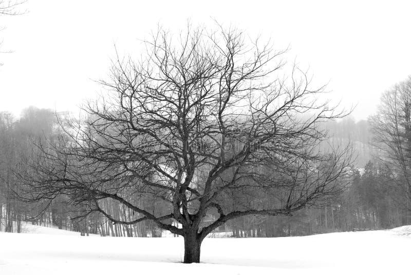 Apfelbaum im Winter lizenzfreie stockfotos