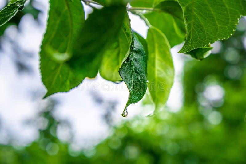Apfelbaum treibt mit Tautropfen Blätter stockbilder