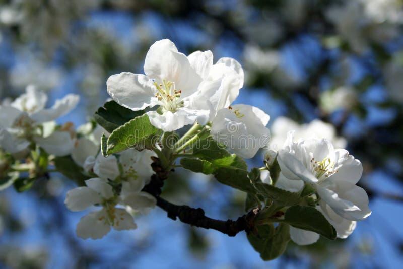 Apfelbaumblüte lizenzfreies stockbild