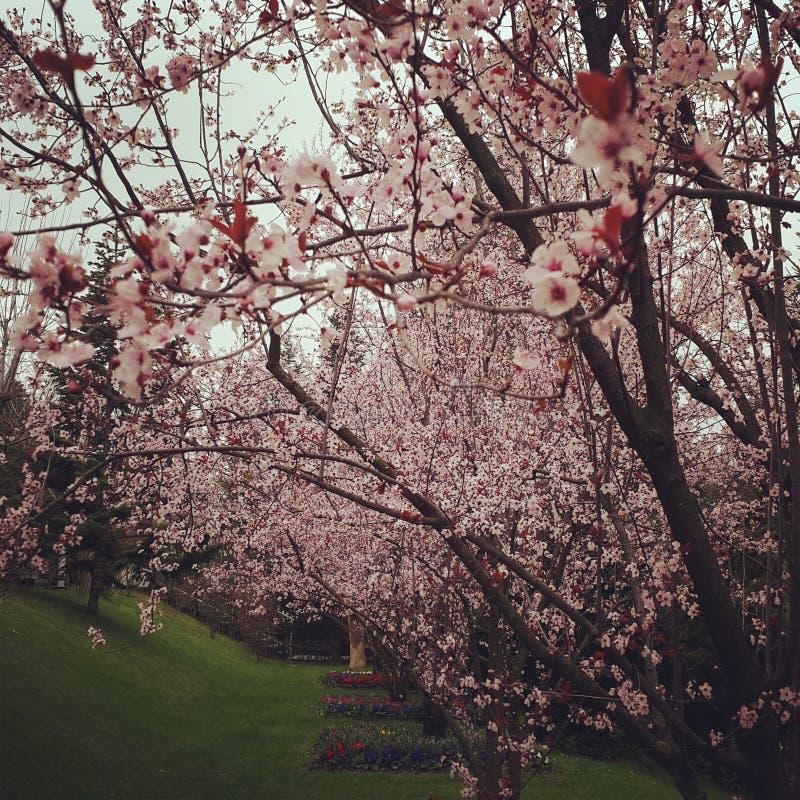 Apfelbaumblumen über Weiß stockfotografie