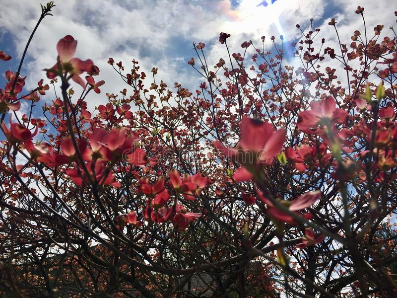 Apfelbaumblumen über Weiß stockbilder