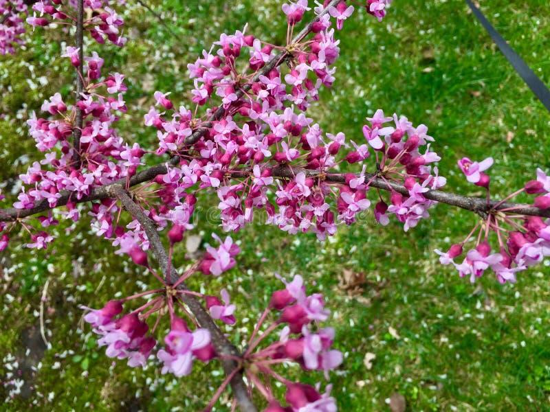 Apfelbaumblumen über Weiß lizenzfreie stockfotografie