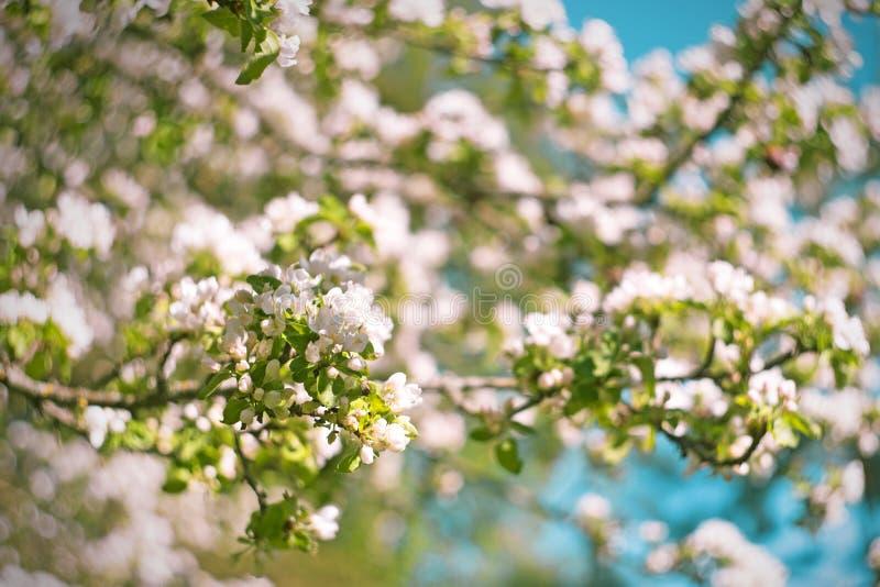 Apfelbaumblumen des Frühlinges verzweigen sich blühende am Frühlingstag auf Hintergrund des blauen Himmels stockbild