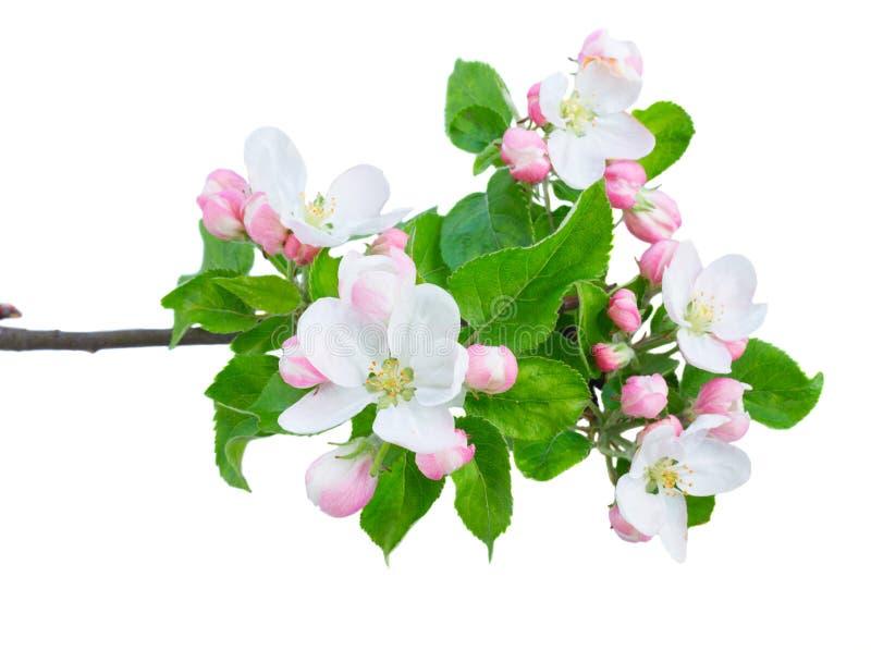 Apfelbaumblumen und -blätter lizenzfreies stockbild