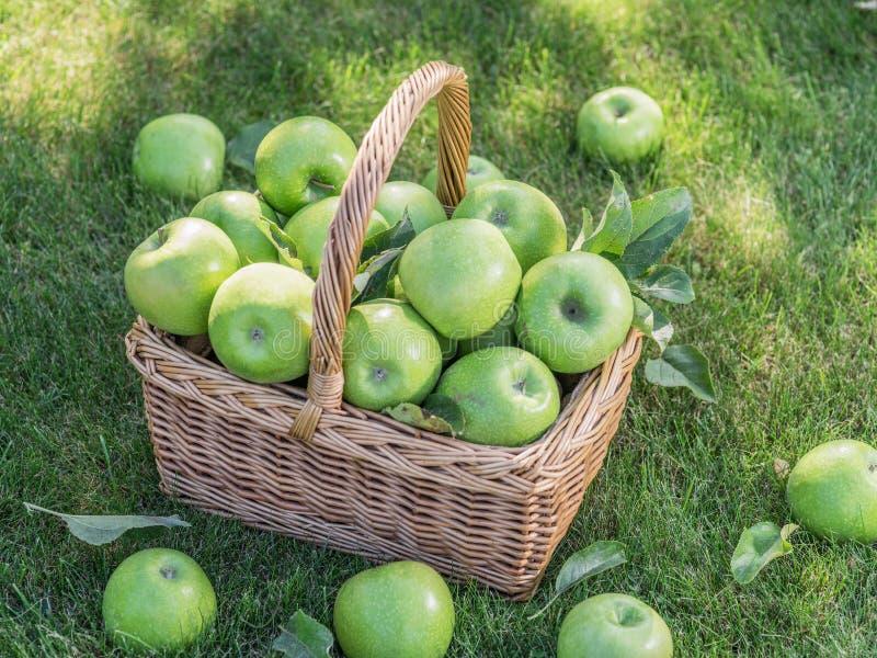 Apfelernte Reife grüne Äpfel im Korb auf dem grünen Gras stockfotografie
