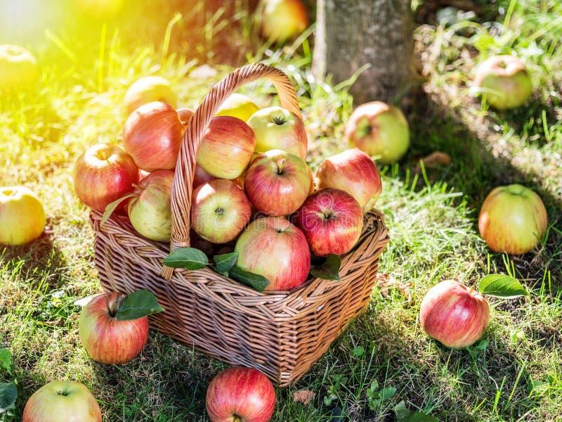 Apfelernte Reife rote Äpfel im Korb auf dem grünen Gras lizenzfreie stockbilder