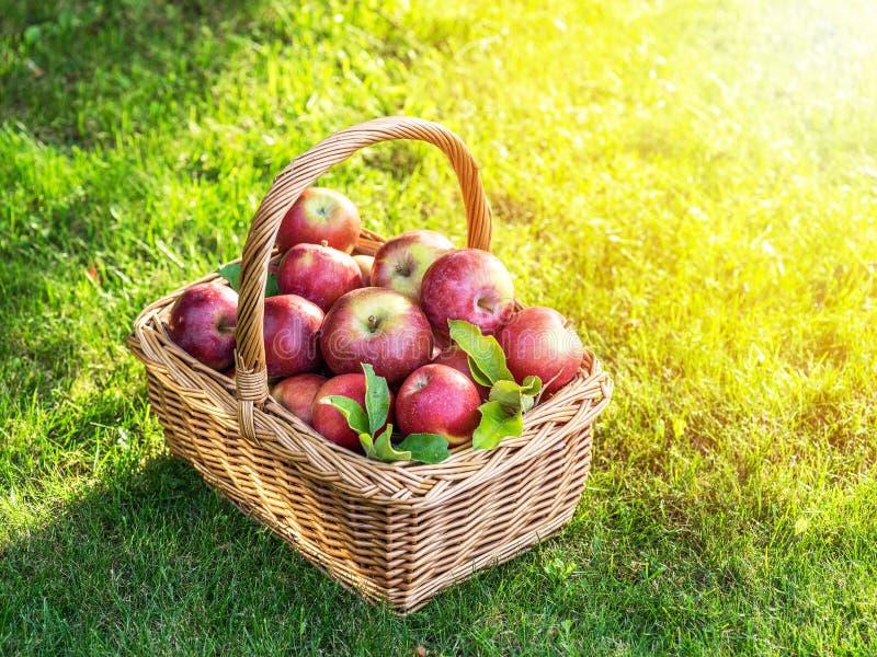 Apfelernte Reife rote Äpfel im Korb auf dem grünen Gras lizenzfreies stockfoto