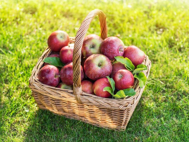 Apfelernte Reife rote Äpfel im Korb auf dem grünen Gras stockfotografie