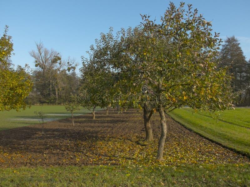 Apfelgarten im Herbst Gelbes Laub des Apfelbaums lizenzfreie stockfotografie