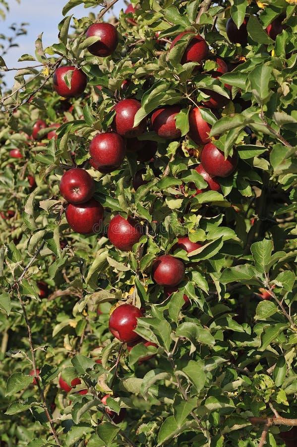 Apfelgarten mit roten reifen Äpfeln stockbild