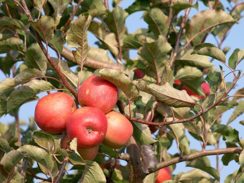 Apfelgarten mit roten reifen Äpfeln lizenzfreies stockbild