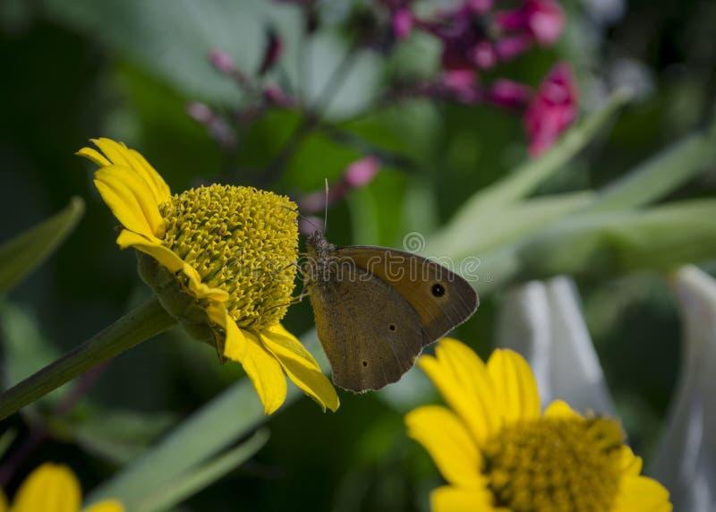 Aphantopus-hyperantus Schmetterling, der auf den gelben Blumen der Sonnenblumenasterfamilie, Chrysopsis bekannt als golden sitzt lizenzfreie stockfotos