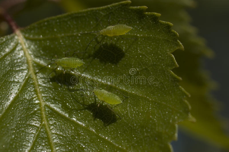 Aphid stock photography