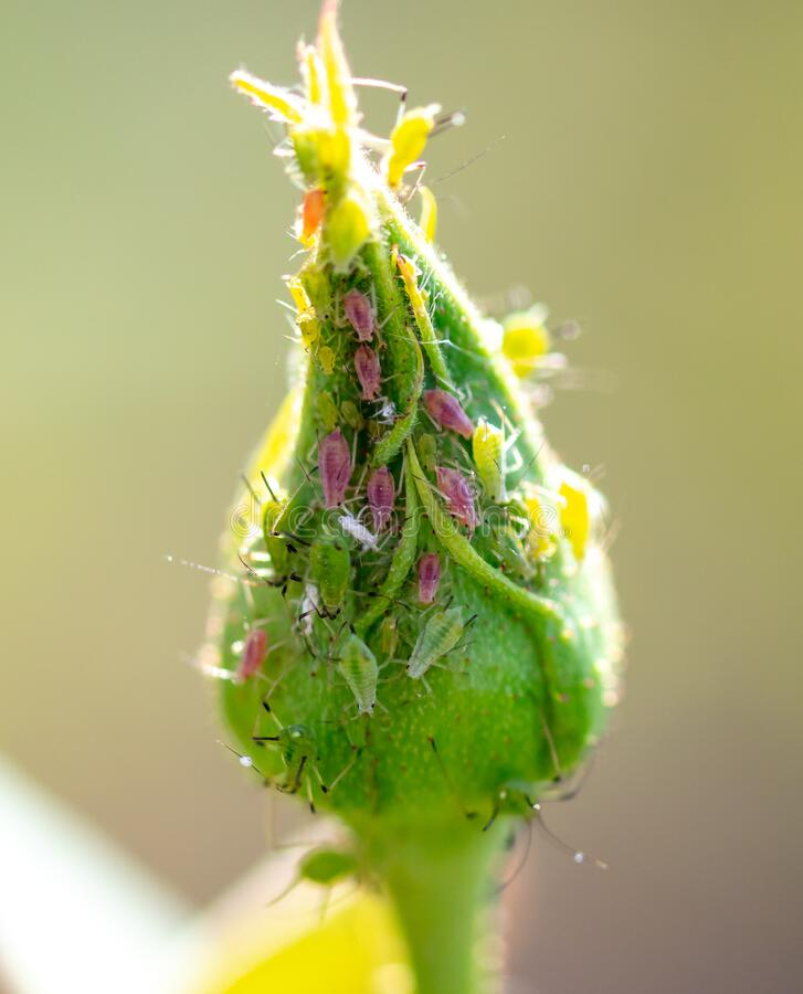 Free Aphid On A Closed Flower Bud Stock Photography - 172655642