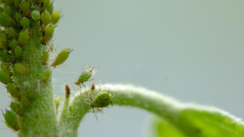 Aphid, a pest, on an apple tree branch. The insect feeds on the plant's juices, destroying the leaves, spreading diseases and stock photo