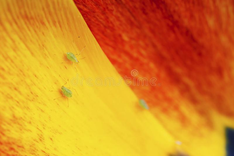 Aphid on Red-Yellow FLower Petal. Macro view of aphid on colorful red and yellow spring flower petal stock images