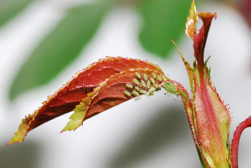 aphids αυξήθηκε στοκ φωτογραφία με δικαίωμα ελεύθερης χρήσης
