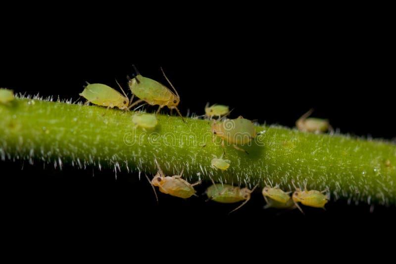 aphids φυτό στοκ εικόνα