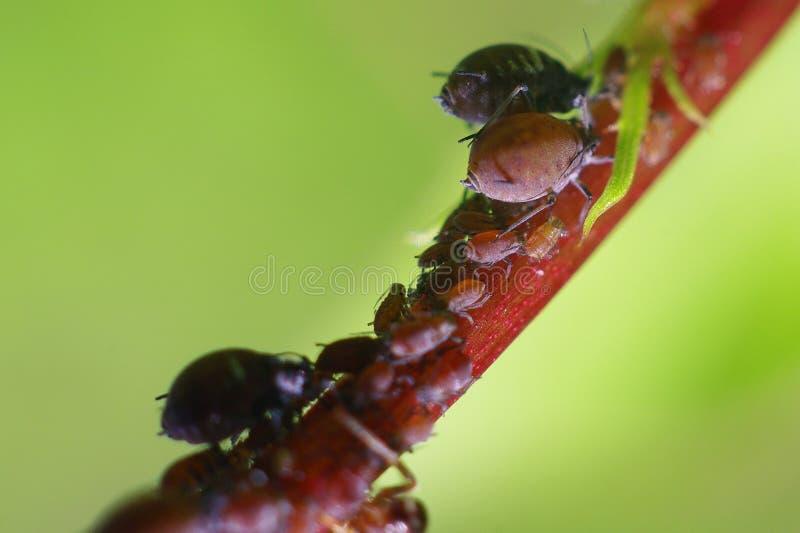 aphids arkivbilder