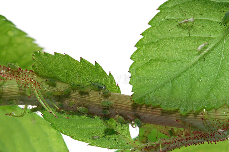 Aphids. Multiple  on a rose stock photo