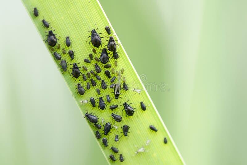 aphids arkivfoto