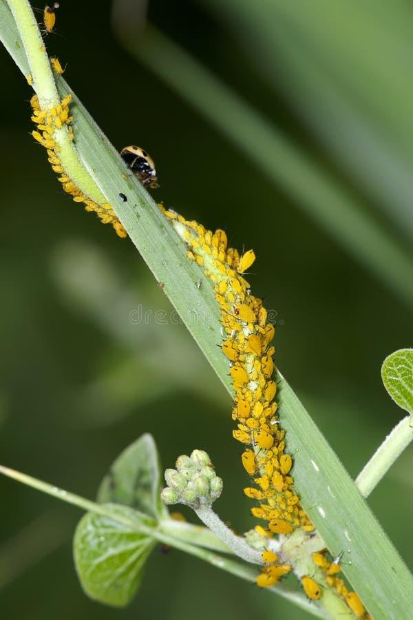aphids royaltyfri foto