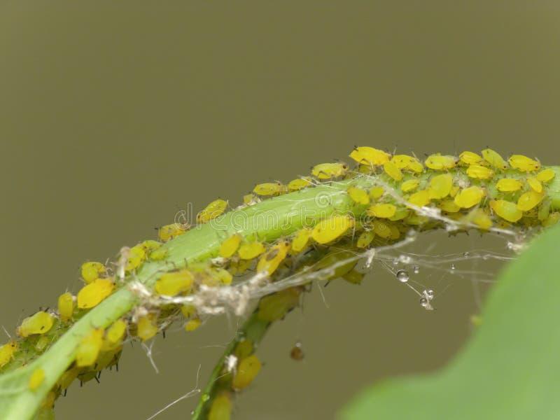 aphids royaltyfria foton