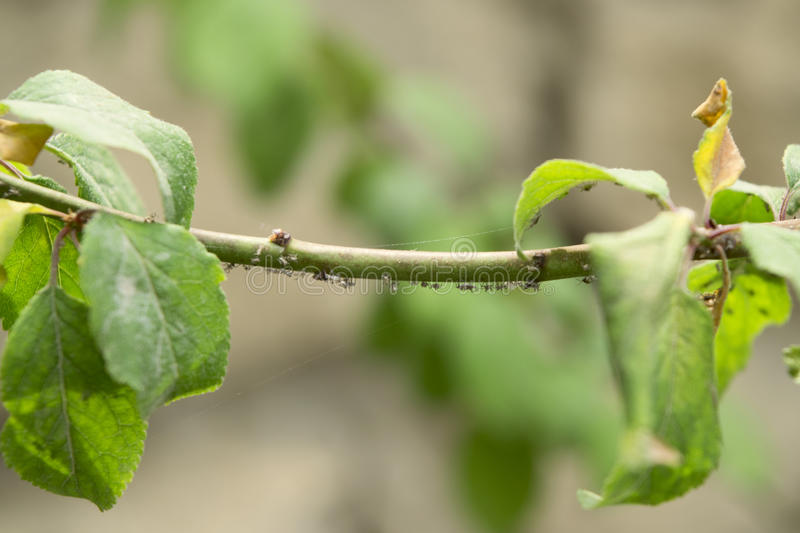 Aphids. On the apricot tree stock photo