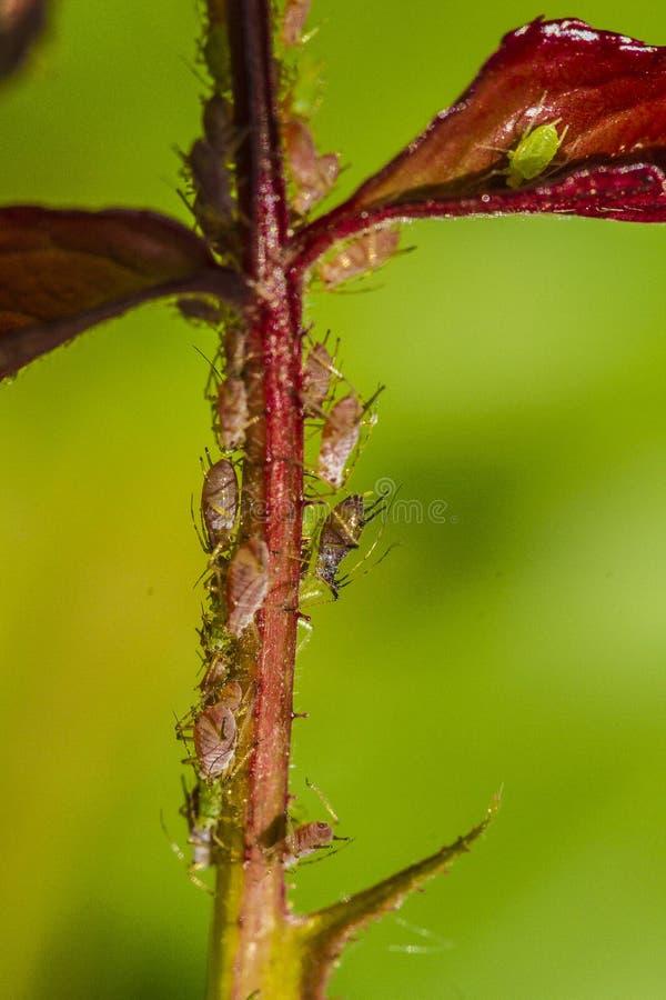 aphids lizenzfreie stockfotografie
