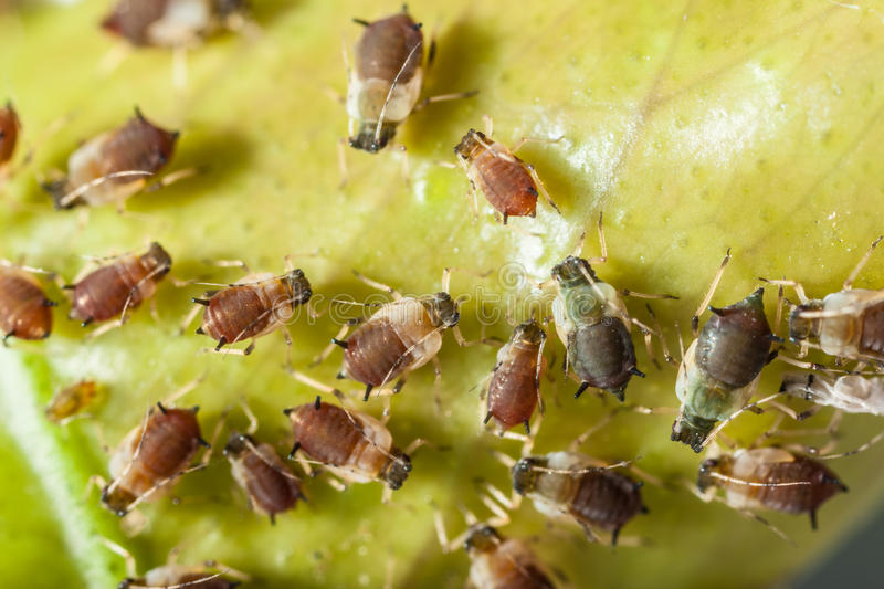 Aphids colony. Extreme macro shot of a aphids colony over a citrus leaf royalty free stock photos