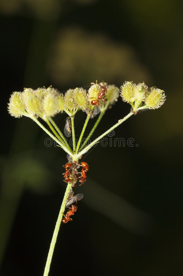 Aphids colony on grass and ants. Red ants teamwork in herding greenfly or aphids colony on grass stem stock photography