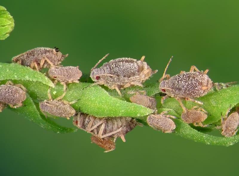 aphids royalty-vrije stock foto's