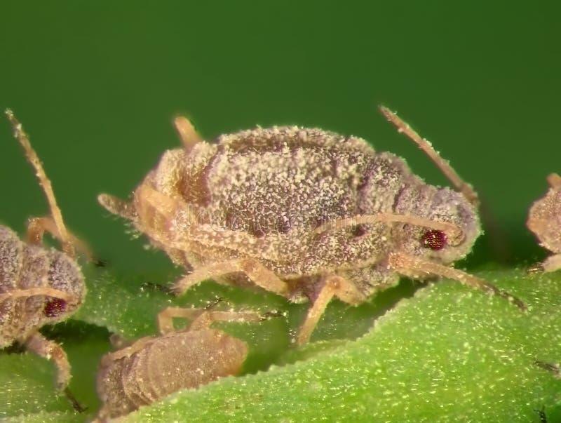 aphids stock afbeelding