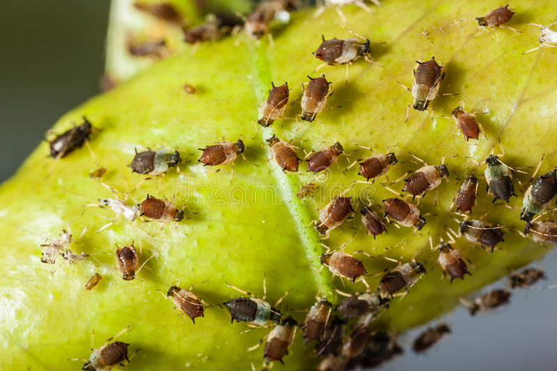 Aphids. Extreme macro shot of a aphids colony over a citrus leaf stock image