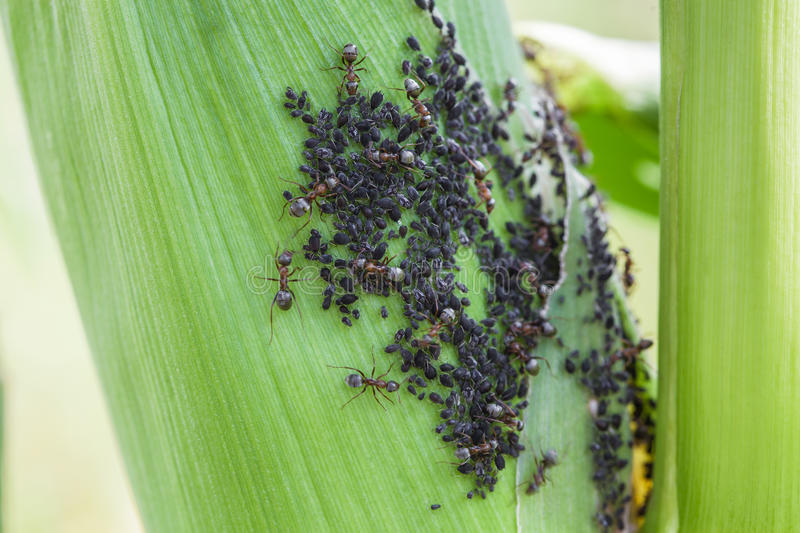 Aphids feed on sap corn. Aphids feed on sap of green corn while ants collect honeydew from of aphids like farm animals stock image