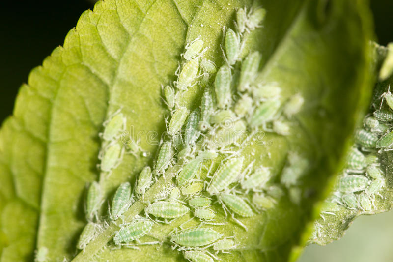Aphids on a green leaf. close stock images