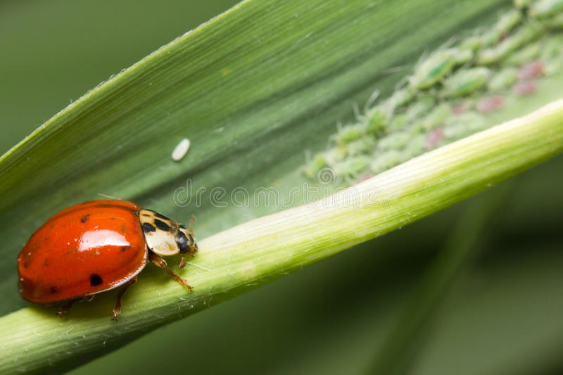 Aphids and a ladybird. Close-up of Aphids and a ladybird royalty free stock photography