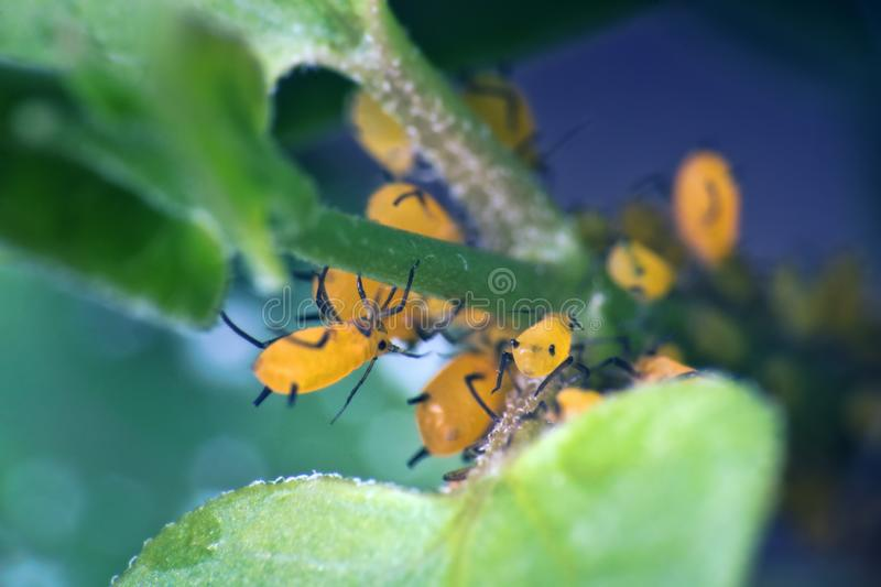Aphids like green men rushes to the plant with an army. Aphids (scale, Coccidae) like green men (greenfly) rushes to the plant with an army, crop pests, viticide stock image
