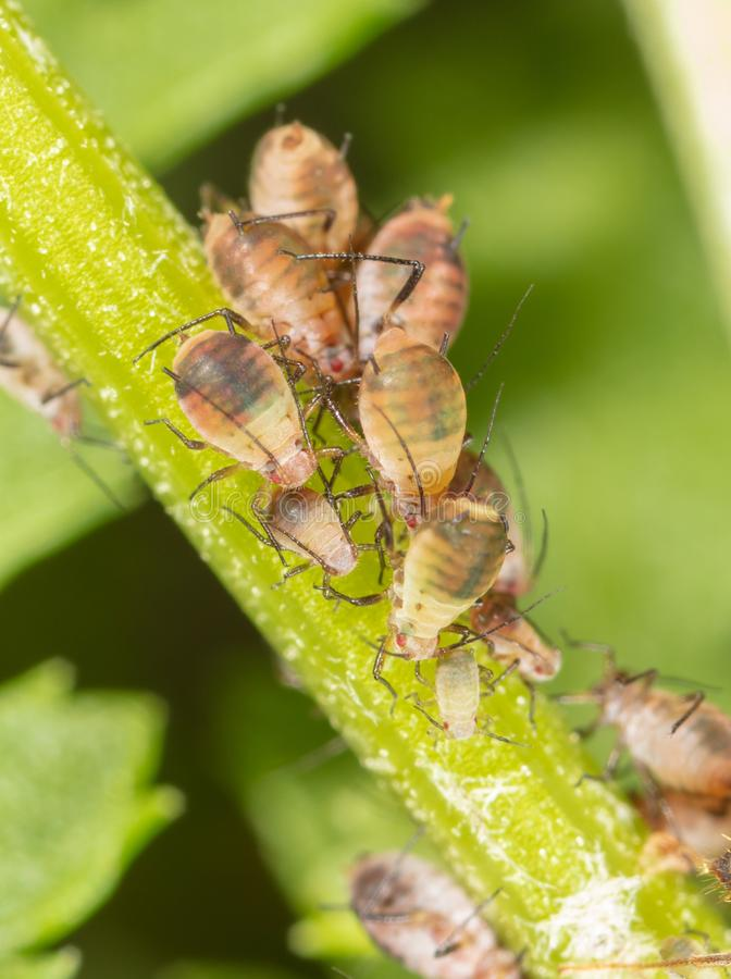 Aphids are like a parasite on a plant stock images