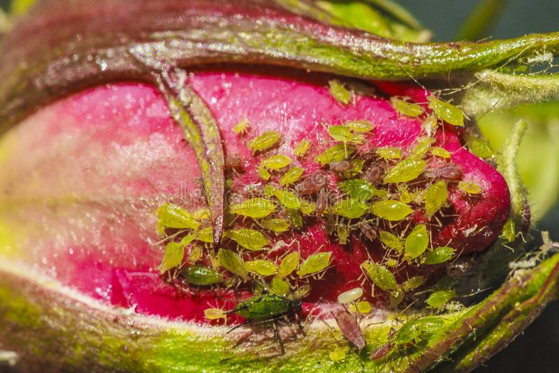 aphids fotografia de stock royalty free